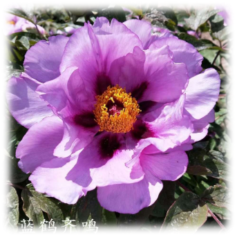 Four steps for planting tree peony with high survival rate
