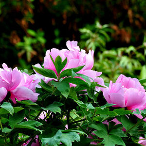 How to manage tree peonies in summer