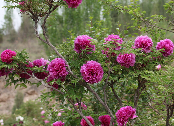 How much do you know about paeonia rockii ? Let me show you some peonies in Gansu