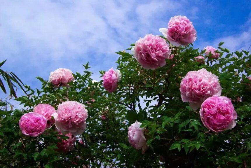 Methods of prevention and control of tree peony flowers in summer