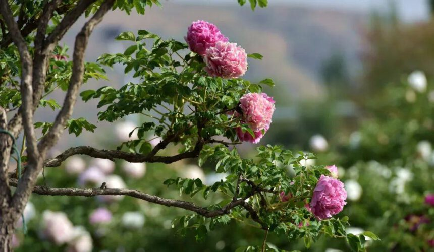 How to plan planting Paeonia Rockii in autumn