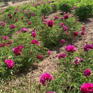 You should pay attention to these problems in summer tree peonies